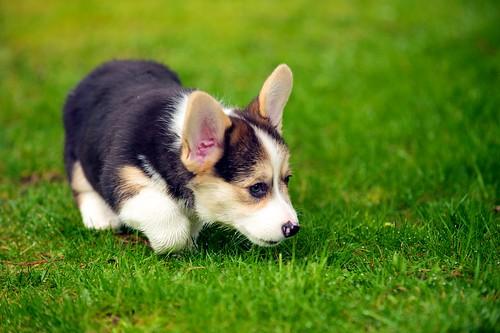 Corgi Puppies 31