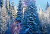 BACKLIT FOREST (Aspenbreeze) Tags: sun forest colorado frost hoarfrost bluesky highaltitude grandmesa aspentrees firtrees winterforest grandmesacolorado coloradod aspenbreeze conifirtrees topphotospots tpslandscape tpslandscapes gpsetest bevzuerlein