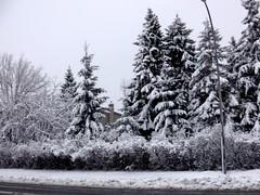 ** Arbres enneigs ** (Impatience_1) Tags: sky snow tree pine pin explorer m explore ciel neige arbre conifer mfcc conifre xplor