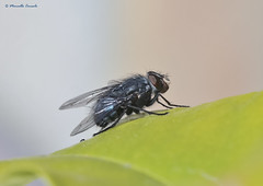 Calliphoridae (Marcello Consolo) Tags: insectos insects animalia arthropoda insectes insetti insecta taxonomy:class=insecta taxonomy:kingdom=animalia taxonomy:phylum=arthropoda taxonomy:common=insects taxonomy:common=insectes taxonomy:common=insetti taxonomy:common=insectos