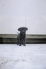 Wee Josephina (Immature Animals) Tags: arizona rescue dog baby white black cute animal puppy mexico nose mutt mix lab labrador tucson outdoor shepherd adorable ears az marshall foster derek bark snout spay koalition 85713 barktucson