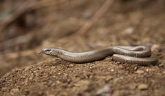 Found hidden. (Gemma Malenoir) Tags: tongue canon photography cornwall reptile wildlife lizard hidden scales british hiss undergrowth slowworm legless specanimal 5dmkii cgemmamalenoirphotography2013