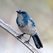 "Scrub Jay-8620 • <a style=""font-size:0.8em;"" href=""http://www.flickr.com/photos/18570447@N02/8547217596/"" target=""_blank"">View on Flickr</a>"