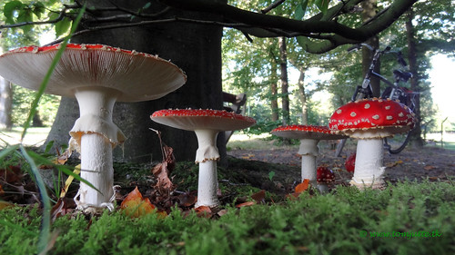 Red with white dots mushrooms, Zeist, Netherlands - 0924
