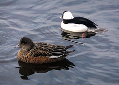 Just Friends (Wigeon Hen and  Bufflehead Drake) (FernShade) Tags: nature birds vancouver britishcolumbia wildlife feathers ducks pacificnorthwest diver waterfowl bufflehead westcoast avian waterbirds plumage wigeon dabbler anasamericana bucephalaalbeola baldpate buffleheadduck specanimal