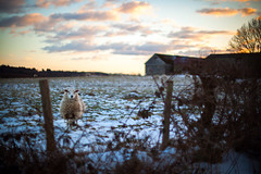 (drfugo) Tags: sunset england snow field fence sussex wire sheep bokeh farm barbed worthway nikkors55mmf12 canon5dmkii nikon55mf12s