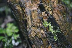 DSC_0488 (dan-morris) Tags: wood brown plant black tree green wet leaves rain spring nikon cloudy flash small stump 1855mm dslr vr f3556g 1855mmf3556gvr d3100
