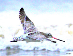 Bar Tailed Godwit. Wallasey, Wirral (Peter J. Ham.) Tags: life sea birds waders wirral godwit peterham newbrightonwaders