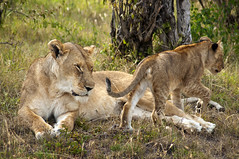 Lion cub and mother, Masai Mara (LimeWave Photo) Tags: africa travel family wild cute nature animal animals fauna cat cub nationalpark child kenya wildlife lion adventure safari bigcat predator maasai savanna bigfive masaimara riftvalley eastafrica rift lionesse kingofanimals limewave jksafaris