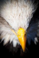 Business End (markrellison) Tags: portrait detail birds yellow iso200 cheshire eagle baldeagle beak feathers calling f28 birdofprey gauntlet lightroom knutsford 200mm birdofpreycentre lr4 13200sec canoneos7d ef70200mmf28lisiiusm lightroom4