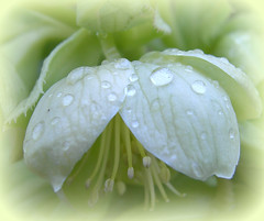 Teardrops! ('cosmicgirl1960') Tags: flowers nature gardens parks yabbadabbadoo worldflowers