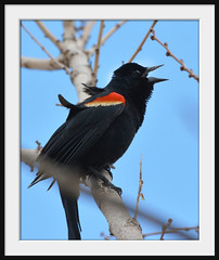 """Call Of The Wild"" (vidterry) Tags: iso800 cedarlake redwingedblackbird 400mm photomix nikkor80400mmvr wbauto ev23 redwingedblackbirdmale naturesharmony photographyforrecreation nikond7100 11600thf8 callingredwing 5pointaf"