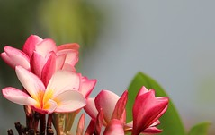 Araliya... (Renuka Marshall) Tags: flowers wild nature offering buds srilanka araliya templeflowers frangpanni