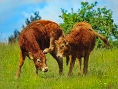 Dancing cows (mheckerle) Tags: cow kuh khe 2016 natur farm nature animals landscape landschaft landwirtschaft rinder hessen hesse germany