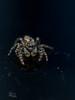Saltique / spider (http://www.jeromlphotos.fr) Tags: saltique spider arraignée macro 100mm canon eos 5dmarkii animal sateuse macrophoto inexplore explore