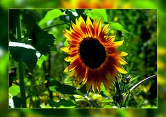 Sunflower (scorpion (13)) Tags: sunflower blossom nature frame garden photoart plant summer sun color creative light