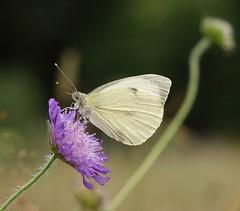 Large White / Groot koolwitje (peeteninge) Tags: butterfly vlinders flora flower bloem flowers bloemen nature natuur white wit paars purple