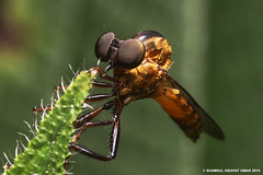 Orange Robber Fly (Shamsul Hidayat Omar) Tags: malaysia selangor photography orange robber fly nikon d800e micronikkor 55mm lens shamsul hidayat omar greatphotographers biodiversity kepelbagaian bio