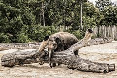 Alone (Cpt.Baranyai) Tags: 2016jlius sonyalpha veszprm zoo animals slta77ii llatok