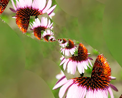 Cone Flower twist (hz536n/George Thomas) Tags: 2016 canon5d ef24105mmf4lisusm july michigan summer copyright nik upnorth pixelbender surreal flower coneflower flora abstract twist trip