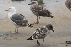 Western and Juvenile California Gull (J.B. Churchill) Tags: birds ca cagu california californiagull gullsterns pillarpoint places sanmateo taxonomy wegu westerngull halfmoonbay unitedstates us
