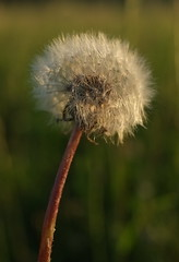 Puste doch mal! (igelchen) Tags: pusteblume lwenzahn blume flower blte blossom macro makro flauschig weich weis white dandelion