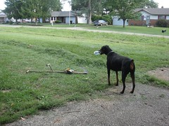 1471812179_2016_Aug_21_16-42-59_scythe182 (yclept8) Tags: doberman julie scythe