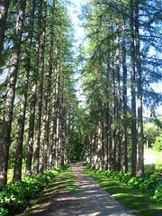 alley of larches (VERUSHKA4) Tags: larch tree alley canon northen russia region historic russian europe travel album botanic garden nature perspective summer august view vue solovetsky island verdure way strait flora trunk bough green light shade sky