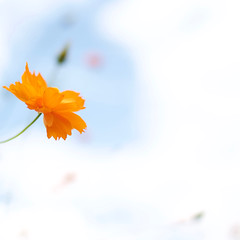Cosmos 2016 (AILINK) Tags: yamanashi september autunm fall flower orange nature cosmos