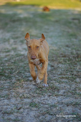 Running free (henriiqueprado) Tags: nikond3200 dog cachorro farm fazenda nature natureza 50mm 18 nikon expressyourself