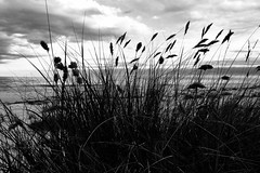 Against the wind (Heathermary44) Tags: blackandwhite monochrome outdoor beach seaside grass landscape sky clouds wind stormy bornholm denmark
