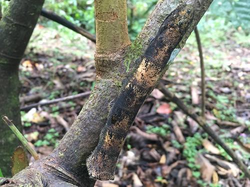 Arsenura batesii, comiendo hojas de Theobroma cacao L. * Cacao *