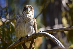 Grey Butcherbird (Luke6876) Tags: greybutcherbird butcherbird bird animal wildlife australianwildlife