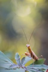Yellow mantis (Benji Pictures) Tags: mante mantisreligiosa mantis religieuse closeup macro proxi profondeurdechamp flares flare canon 70d 100mm