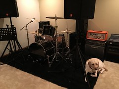 Calvin approves of the new music studio space! (hero dogs) Tags: dog labrador cute therapydog servicedog