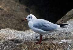 Black-headed Gull (3) (grahamh1651) Tags: newlyn tolcarne gulls divers waders