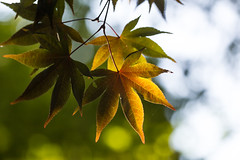Prelude to autumn (Irina1010_out for a while) Tags: leaves maple color prelude fall september bokeh tree beautiful light nature canon coth5 ngc npc