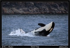 Back Flop (Wild Elements.ca) Tags: killer whale orca bc breach