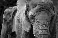 Wrinkleduo - 1Z3A7536 (Notkalvin) Tags: elephants elephant pchyderm animal zoo pittsburgh captive notkalvinphotography notkalvin mikekline explore explored flickrexplore thankyou