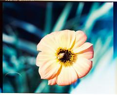 Mamiya_Ektar_flowers_014 (Benjamin Dart) Tags: ektar film mamiya rz67