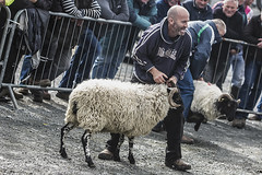 A bit of craic at the sheep show (Frank Fullard) Tags: frankfullard fullard sheep show sheepshow fun craic mayo ireland mulranny newport achill ballycroy tiernaur