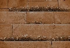 Daisies on steps at Upton House. (tetleyboy) Tags: sepia toned darktable nationaltrust step stone mono stilllife flower weed cracks texture facebook