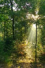 ersten Sonnenstrahlen (izoll) Tags: izoll sony alpha77ii wald waldaufnahmen natur sonnenstrahlen lichtundschatten lichtstrahl naturaufnahmen bume