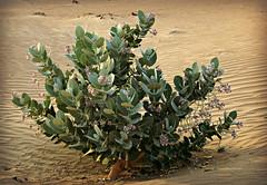 Sodom's Apple Milkweed (tinlight7) Tags: milkweed giantmilkweed sodomsapplemilkweed leaves flowers desert sand dune dubai uae taxonomy:kingdom=plantae plantae taxonomy:phylum=tracheophyta tracheophyta taxonomy:phylum=magnoliophyta magnoliophyta taxonomy:class=magnoliopsida magnoliopsida taxonomy:order=gentianales gentianales taxonomy:family=apocynaceae apocynaceae taxonomy:subfamily=asclepiadoideae asclepiadoideae taxonomy:genus=calotropis calotropis taxonomy:species=procera taxonomy:binomial=calotropisprocera calotropisprocera appleofsodom  roostertree bombardeira algodoeirodeseda rosaseda taxonomy:common=giantmilkweed taxonomy:common=appleofsodom taxonomy:common= taxonomy:common=roostertree taxonomy:common=bombardeira taxonomy:common=algodoeirodeseda taxonomy:common=rosaseda