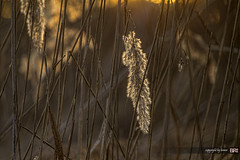 common_reed (alamond) Tags: light reed nature grass lines backlight canon is 7d l usm phragmites ef wintwr 70300 llens phragmitesaustralis commonreed f456