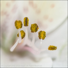 Family Group (*ian*) Tags: white flower macro nature closeup square flora lily pistil petal stamen bloom pollen favourite alstroemeria stigma peruvian anther peruvianlily bigemrg