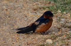 Ceylon Swallow (Sulakna) Tags: park photography national 400mm bundala sulakna obeysekara