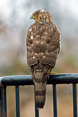 Cooper's Hawk (Brian E Kushner) Tags: bird birds animals ed newjersey backyard nikon hawk wildlife 300mm ii cooper nikkor vr afs audubon birdwatcher coopershawk d4 accipitercooperii backyardbirds f28g tc20 nikond4 audubonnj bkushner brianekushner tc20eiii afsnikkor300mmf28gedvrii