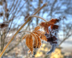 Frost on Leaves 1 (Man From Jackson) Tags: leaves frost frostyleaves jacksonkentucky breathittcountykentucky highlandavenuejacksonkentucky