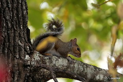 Squirrel on a limb in my backyard (beachkat1) Tags: tree green squirrel